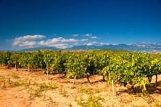 Dusty Spanish Vineyard